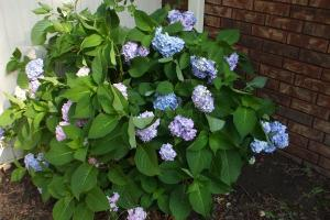 is this a hydrangea bush? Whatever it is, it's pretty!